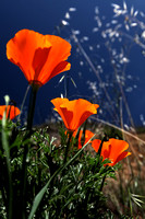 Poppies in the yard April 6, 2013