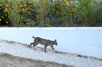 Bobcat at Neighbor Larry's July 8, 2017